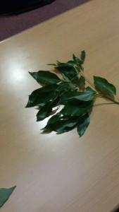ホーウッドの葉